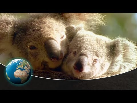 Koala Dreams - Tales of the Old Growth Forest