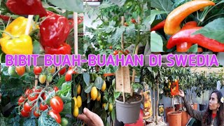 Video BIBIT BUAH-BUAHAN DI SWEDIA MP3, 3GP, MP4, WEBM, AVI, FLV Mei 2019