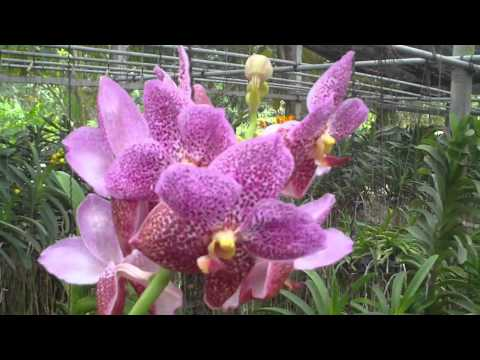 Orchid Farm in Bangkok, Thailand