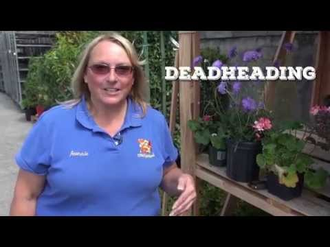 How to deadhead annuals and perennials