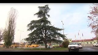 Atlasz cédrus (Cedrus atlantica) tulajdonságai és gondozása