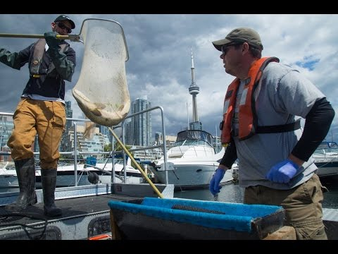 Toronto Harbour Acoustic Telemetry Study