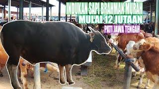 Video SAPI BRAHMAN SUPER INDUKAN MULAI DARI 12 JUTAAN - PASAR SAPI NGULAKAN PATI JAWA TENGAH MP3, 3GP, MP4, WEBM, AVI, FLV Januari 2019