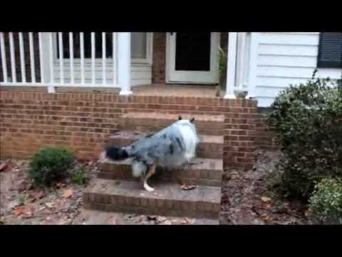 BluemerleSheltie - Such a Smart and beautiful dog. A Blue Merle Sheltie Shetland Sheep Dog. Watch for him in the movie