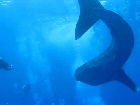 Belize Whale Sharks @ Dive Robert's Grove
