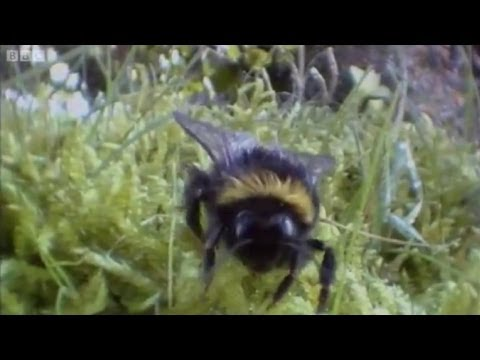 Clever Queen Bumble Bees | Life In The Undergrowth | Bbc Earth
