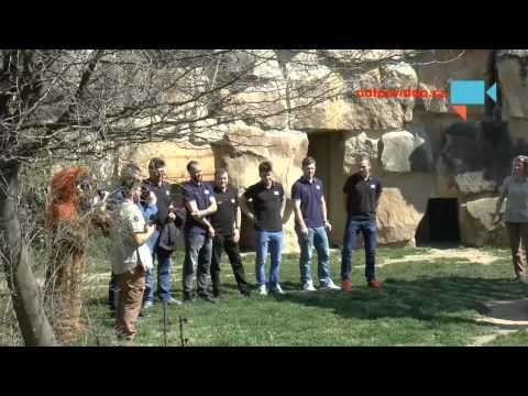 Lvi v ZOO nakrmili čeští hokejoví reprezentanti a trenér Růžička