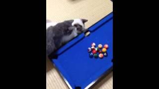 Sínuca para gato rs