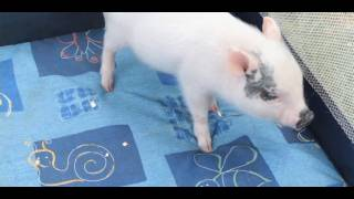 Exotic Pets: What Is A Teacup Pig?