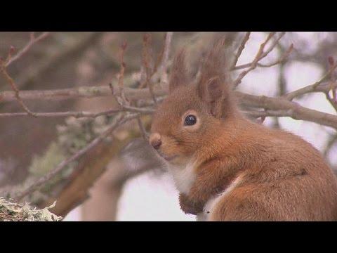 Συναγερμός στη Μεγάλη Βρετανία για τους κόκκινους σκίουρους – science