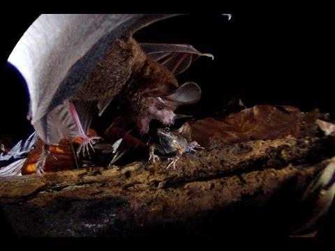 Frog-eating Bats