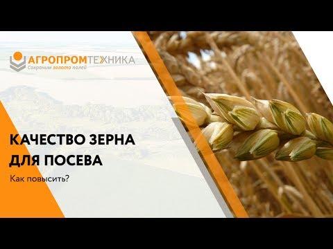 Качество зерна для посева - как повысить?