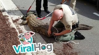 Animal Control Assists in Alligator Removal