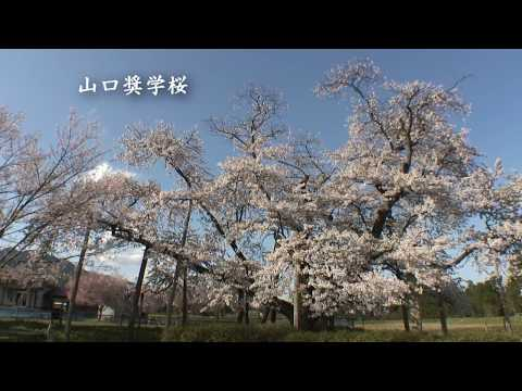 【HD】山形県 白兎のシダレザクラ – がんばれ東北!