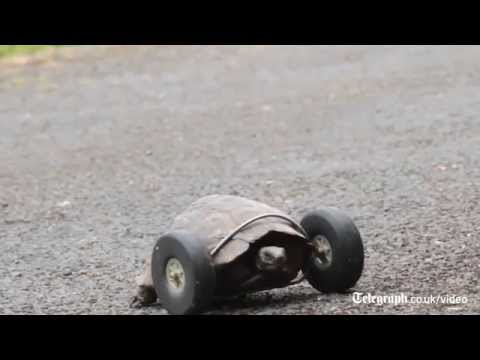 Tortoise 90 gets wheels for legs after rat