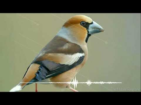 🎼Bird Chirping | Koyal Sound Effect _ By The Mobile Ringtone