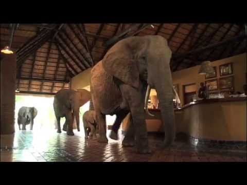 The Elephants Of Mfuwe Lodge