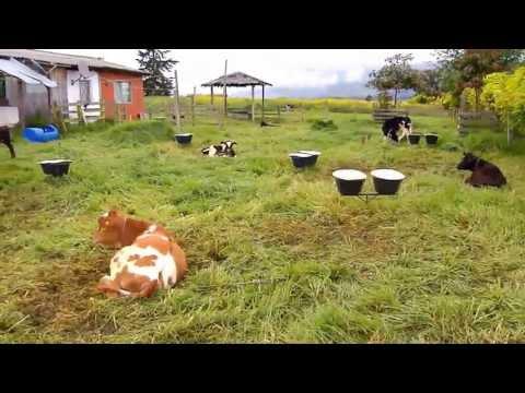 ganado leche - La buena alimentación de las vacas lecheras es una condición para que a la mesa de los antioqueños llegue una mejor leche. Desde el municipio de San Pedro de...