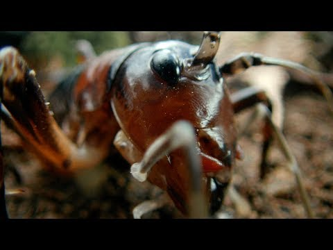 Tusked Weta Vs Foraging Pig - Wild New Zealand - BBC Earth