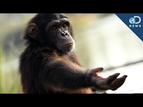 Youtube - There's a group of people who've gone to court, trying to give a captive chimpanzee many of the same rights as human beings. The group called the 'Nonhuman R...