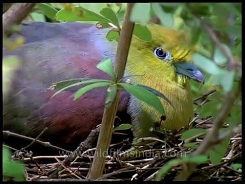 Video Blue Eyed Green Pigeons (Neeli Ankh kay Jangli Kabootar) download in MP3, 3GP, MP4, WEBM, AVI, FLV January 2017