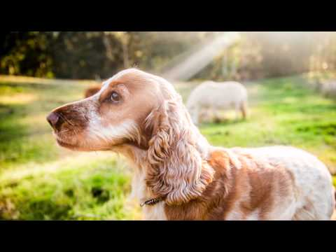 Boadie, Patrick and Suzy | Spaniels in Country Australia | Ragamuffin Pet Photography