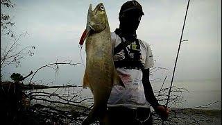 Download Video Mancing casting ikan Senangin - UL part 31 MP3 3GP MP4