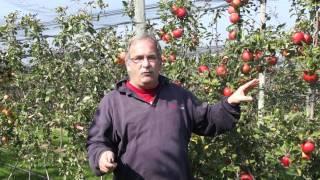 #523 Die Färbung der Apfelfrüchte im Herbst