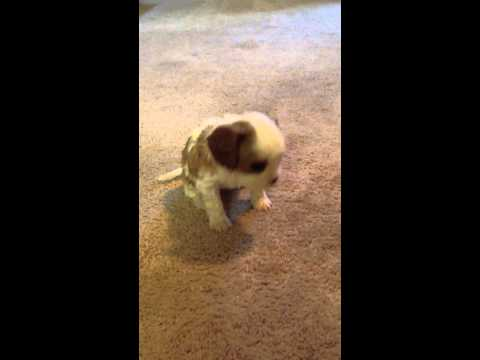 Pebbles walking on carpet at 5 weeks
