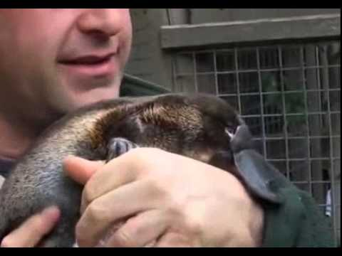 Baby Platypus Loves Owner