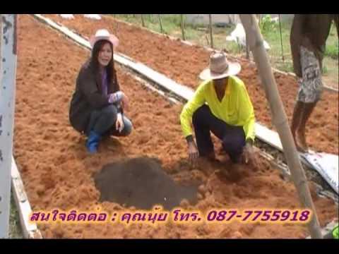 การปลูกเมล่อน - แนะนำวิธีการปลูกเมลอนการเตรียมเมล็ดพันธุ์เมลอนเพาะเป็นต้นกล้าเพื่อลงดินเตรียมดินระ�...
