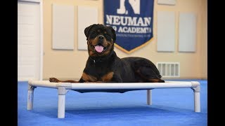 Rane (Rottweiler) graduated from the dog training boot camp at Neuman K-9 Academy. This program included obedience commands to sit, stay, heel or walk on a loose leash, come when called, proper etiquette, no jumping up, meeting and greeting people under control, and running on a treadmill.Our dog training camp provides programs for Rottweiler such as boot camp, obedience training, and puppy camp.Neuman K-9 Academy is a professional canine training school that provides board and train (inboard) for dogs, and fully trained dogs for sale.For more information visit: www.mndogtraining.comLocated in Hugo Minnesota just north of Minneapolis and St. Paul (MN).