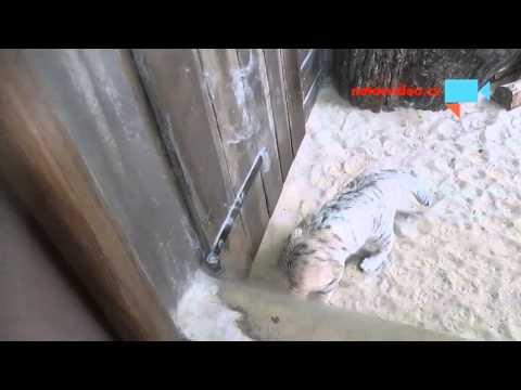 Kočka pouštní, zoo Jihlava 196.9.2015 II.video