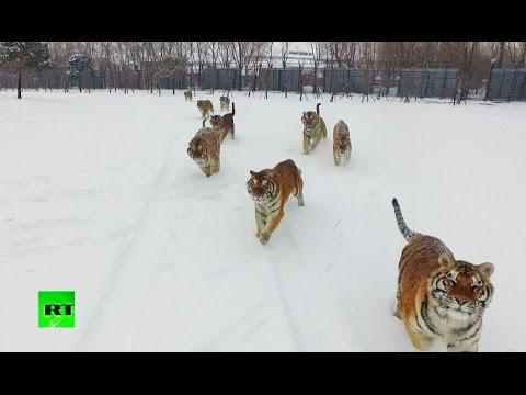 Τίγρεις πηδούν στον αέρα για να διαλύσουν ένα... drone