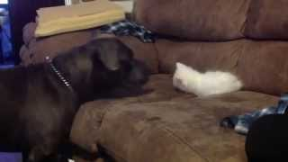 A Pit Bull Reacts To A 10-Week-Old Kitten