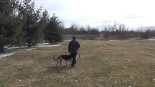 Carl the German Shepherd Training with Suburban K9 in Elgin