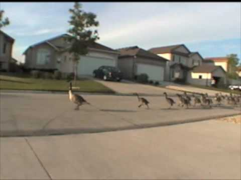 The 'Geese-A-Thon'