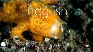 Frogfish at Atmosphere