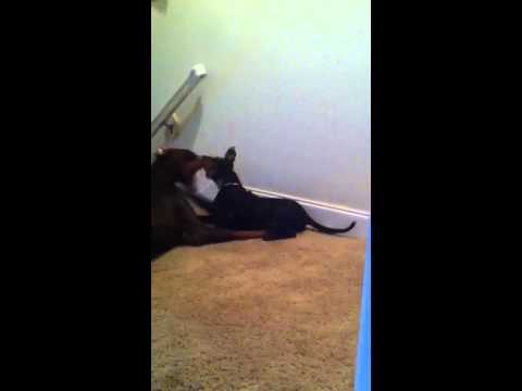 Doberman pinscher vs Pitbull pup