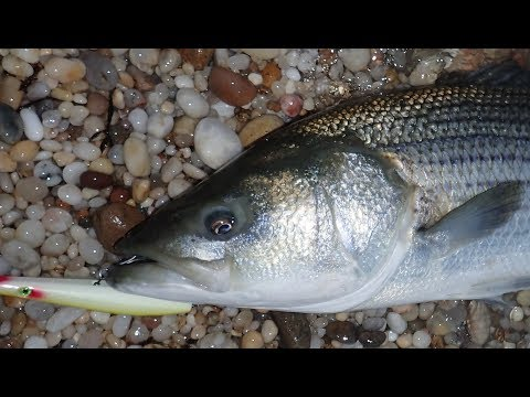 Video 30-pound Topwater Surf Fishing Striper and Hook Caution download in MP3, 3GP, MP4, WEBM, AVI, FLV January 2017