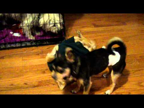 Trecia Watson's pup, Major Minor wrestles with daughter, Miracle.