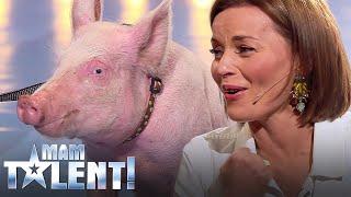 Nie uwierzysz, co zrobiła świnia na castingu do Mam Talent! – Śmierdząca sprawa! :)