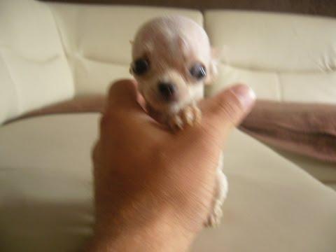 I MISS YOU Chihuahua Gigolo Extreme Micro Teacup extra Mini Chihuahua © Copyright BH