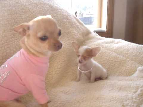 Micro  Chihuahua White and fawn Male