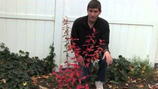 How To Prune&Best Time To Prune Blueberries And Other Berry Bushes