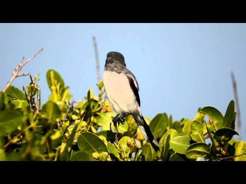 Loggerhead Shrike Through a Nikon EDG Fieldscope