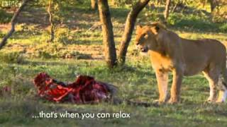 Men Stealing Food From Lions