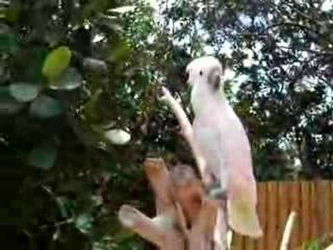 Umbrella cockatoo & other parrots