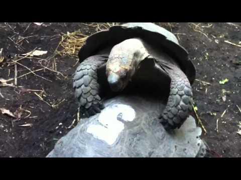 เย็ดกัน - เต่าเอากันในสวนสัตว์เชียงใหม่ร้องเสียงดังมาก.