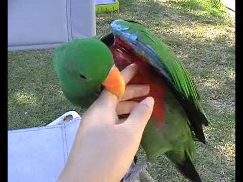 Eclectus Parrot Talking